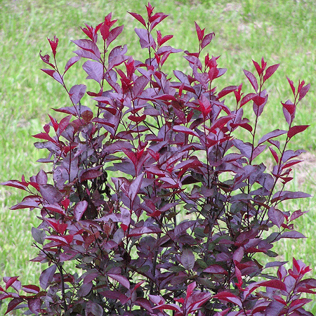 Purpleleaf Sand Cherry
