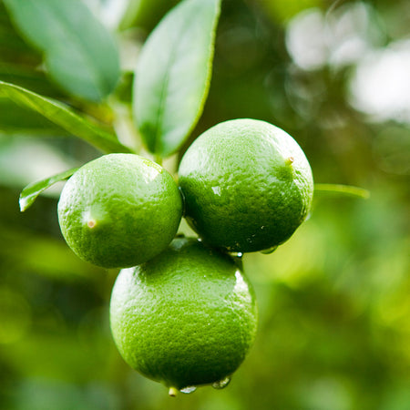 Persian 'Bearss' Lime Bush