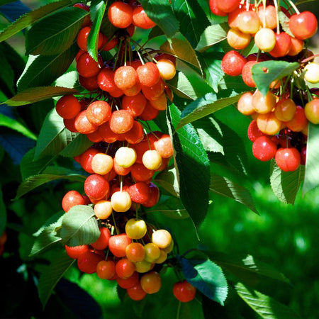 Rainier Cherry Tree