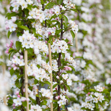 North Pole Columnar Apple Tree