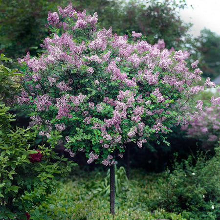 Red Pixie Lilac Tree
