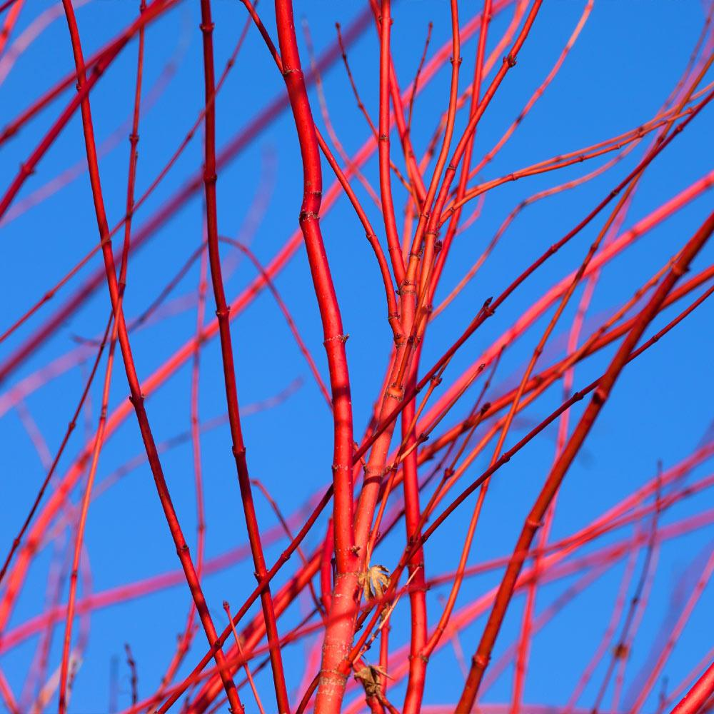Red Twig Dogwood Shrub