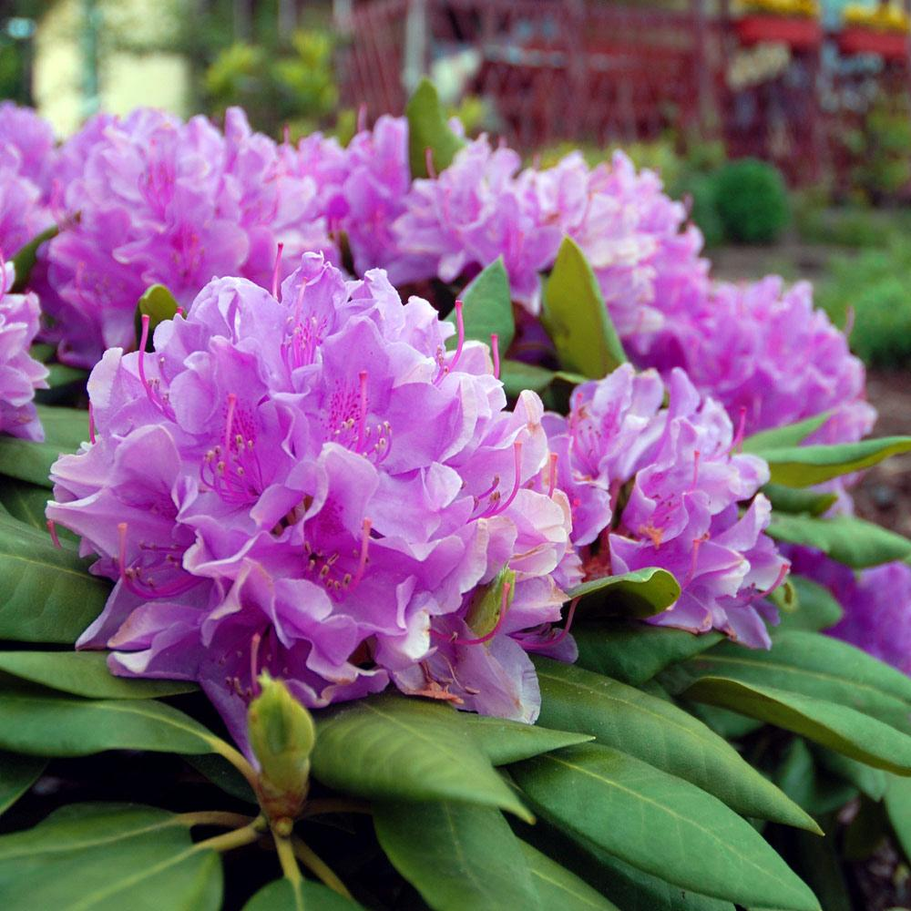 Lavender Rhododendrons For Sale Fastgrowingtrees Com