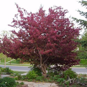 Royalty Crabapple Tree