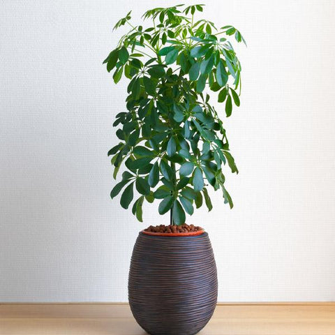 Dwarf Umbrella Tree - Schefflera