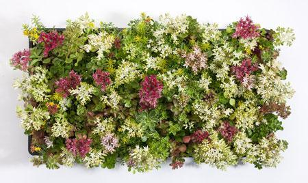 Sedum Tile® - Color Splash