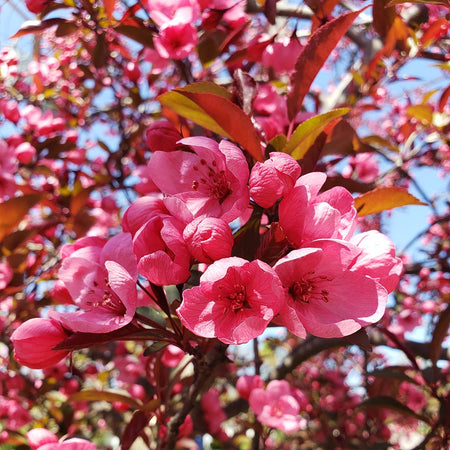 Show Time™ Crabapple Tree