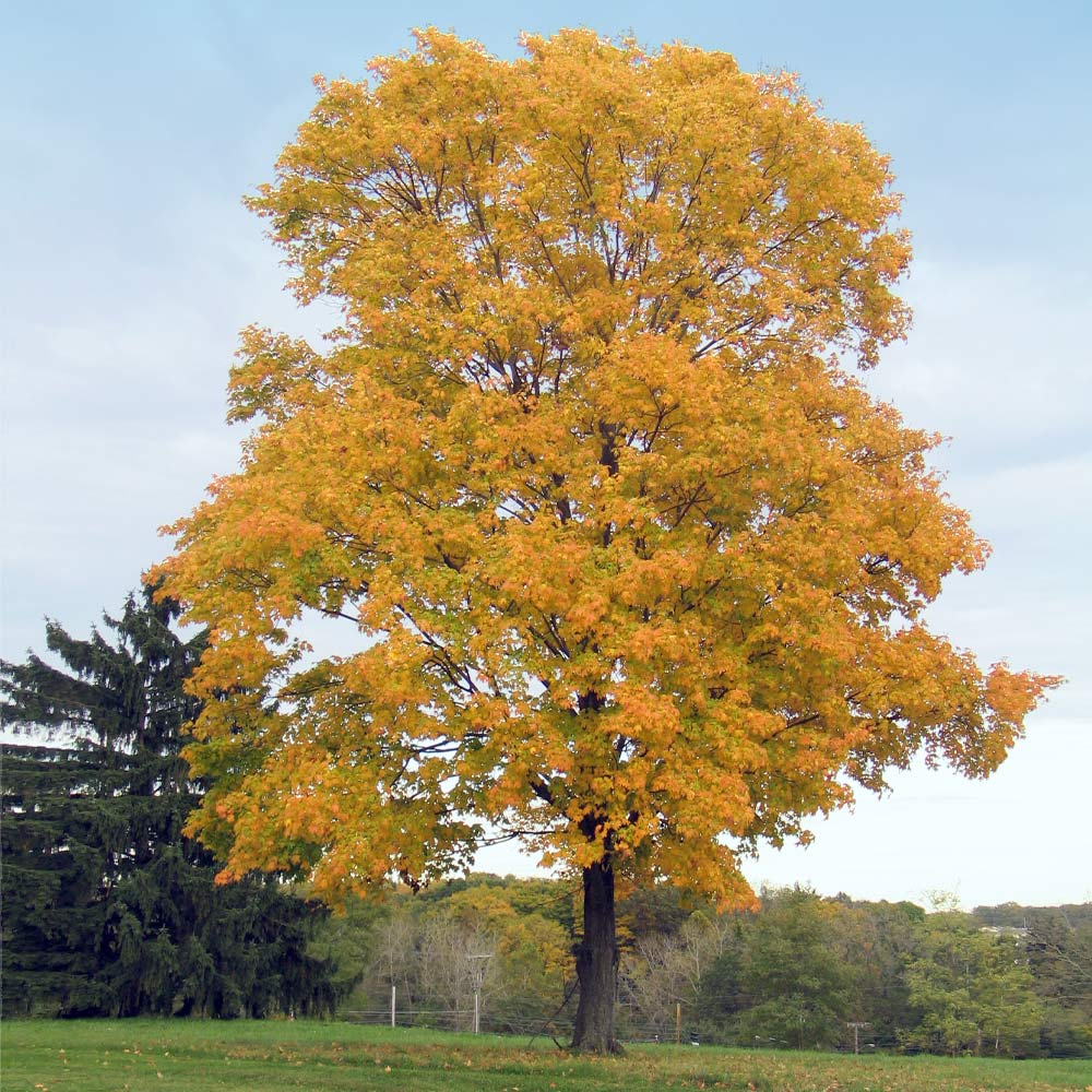 Silver Maple Trees For Sale Fastgrowingtrees Com