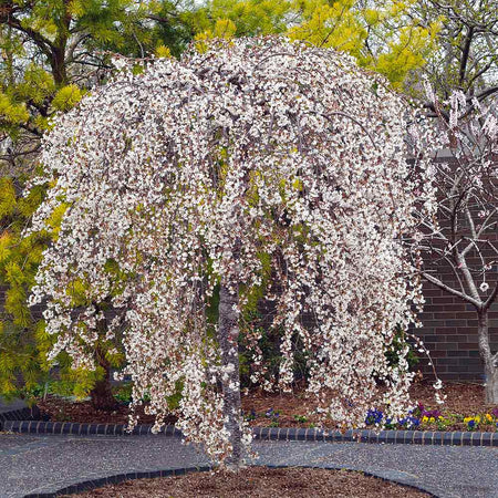 Snow Fountains® Weeping Cherry Tree