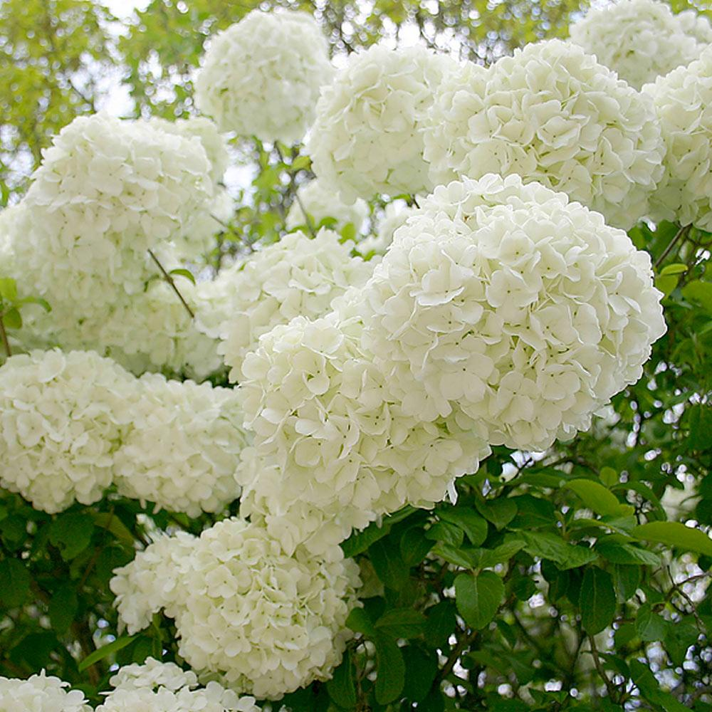 Snowball Bushes For Sale Fastgrowingtrees Com