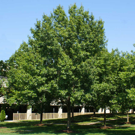 Southern Red Oak Tree