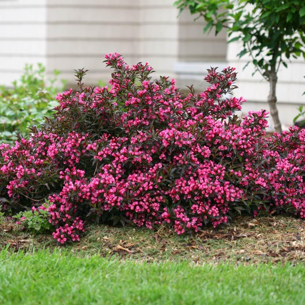 Spilled Wine® Weigela Shrub