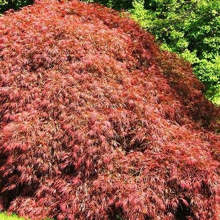 Spring Delight Japanese Maple