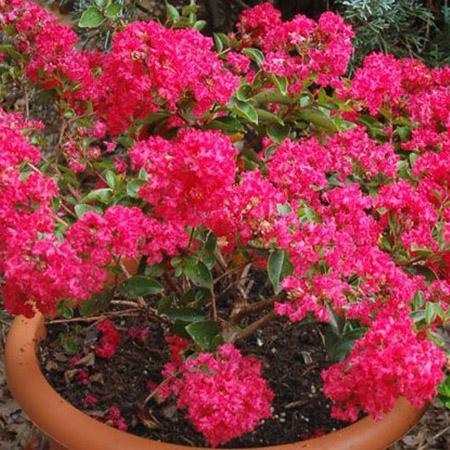 Strawberry Dazzle® Dwarf Crape Myrtle