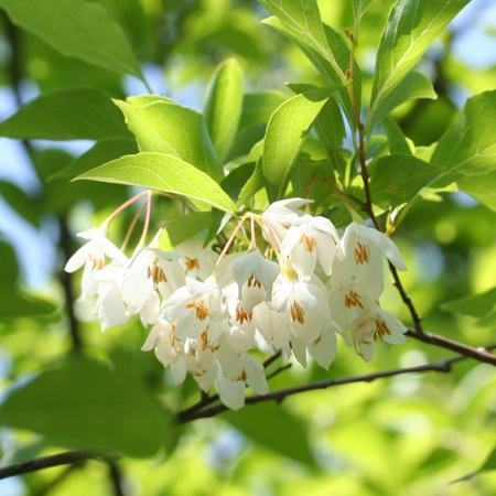 Japanese Snowbell Trees For Sale Fastgrowingtrees Com
