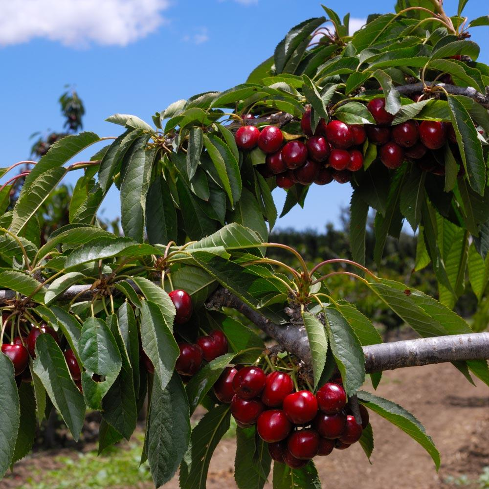 4-in-1 Cherry Surprise Tree