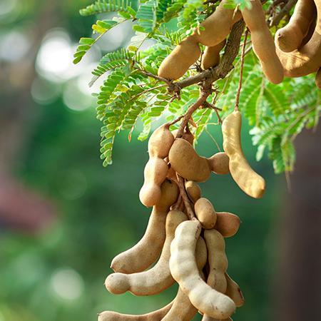 Pictures Of Tamarind Tree