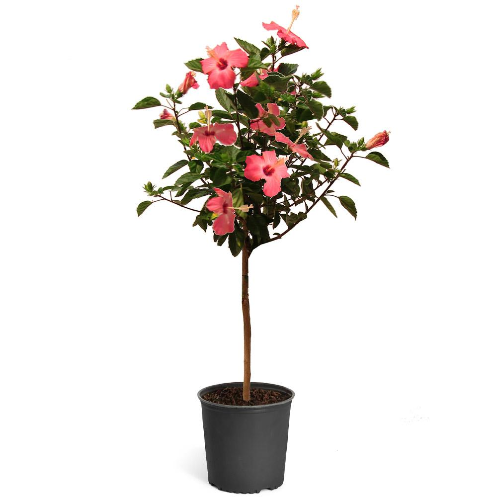 Pink Tropical Hibiscus Tree