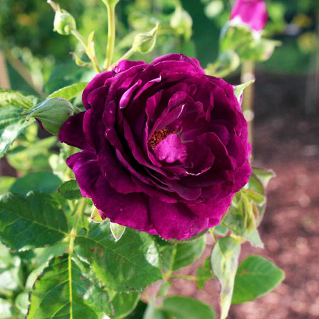 Twilight Rose Shrub