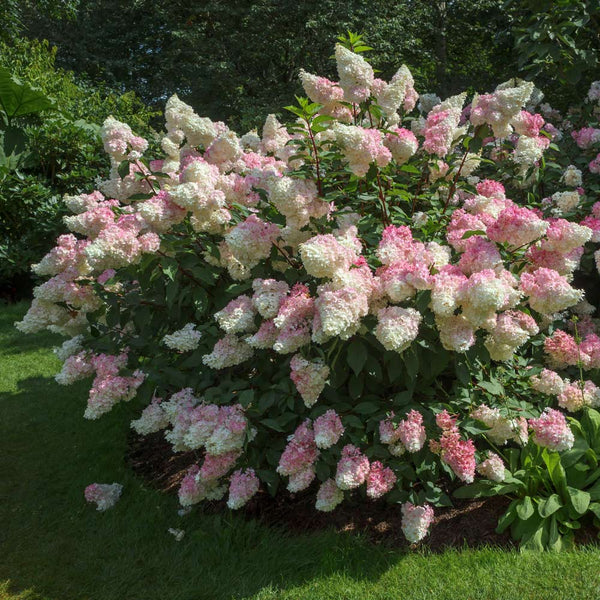 Vanilla Strawberry Hydrangeas For Sale Fastgrowingtrees Com