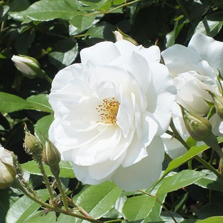 Victory White Camellias For Sale Fastgrowingtrees Com