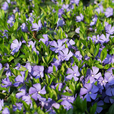 Vinca Minor Periwinkle Vine