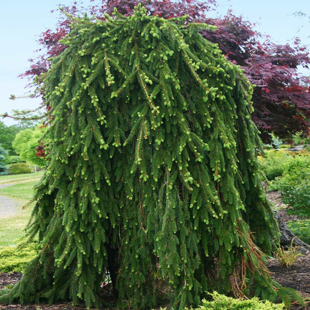 Weeping Norway Spruce Tree