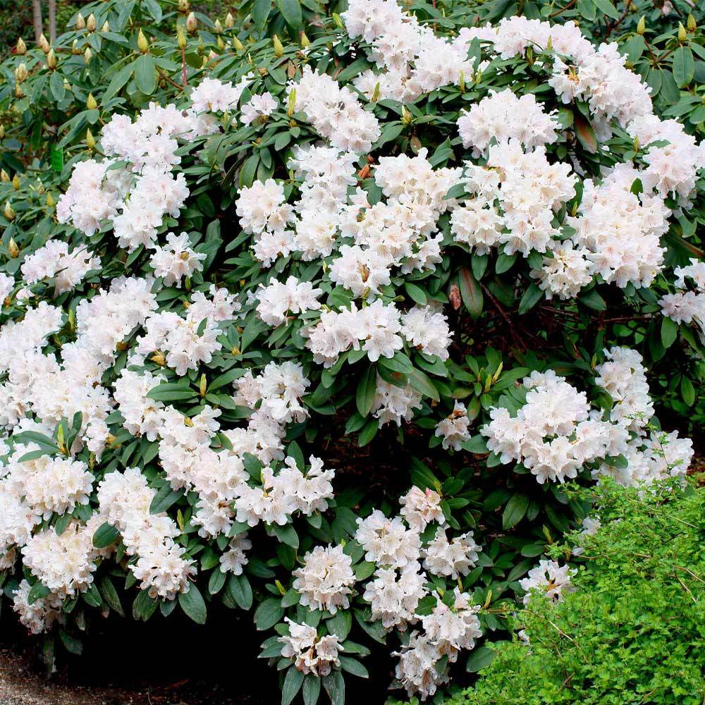 White Rhododendrons For Sale Fastgrowingtrees Com