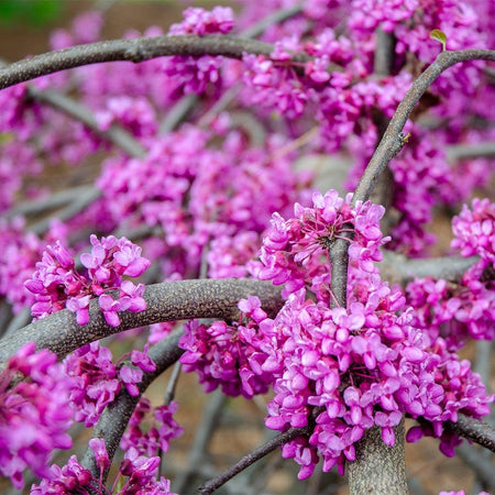Whitewater Redbud Tree