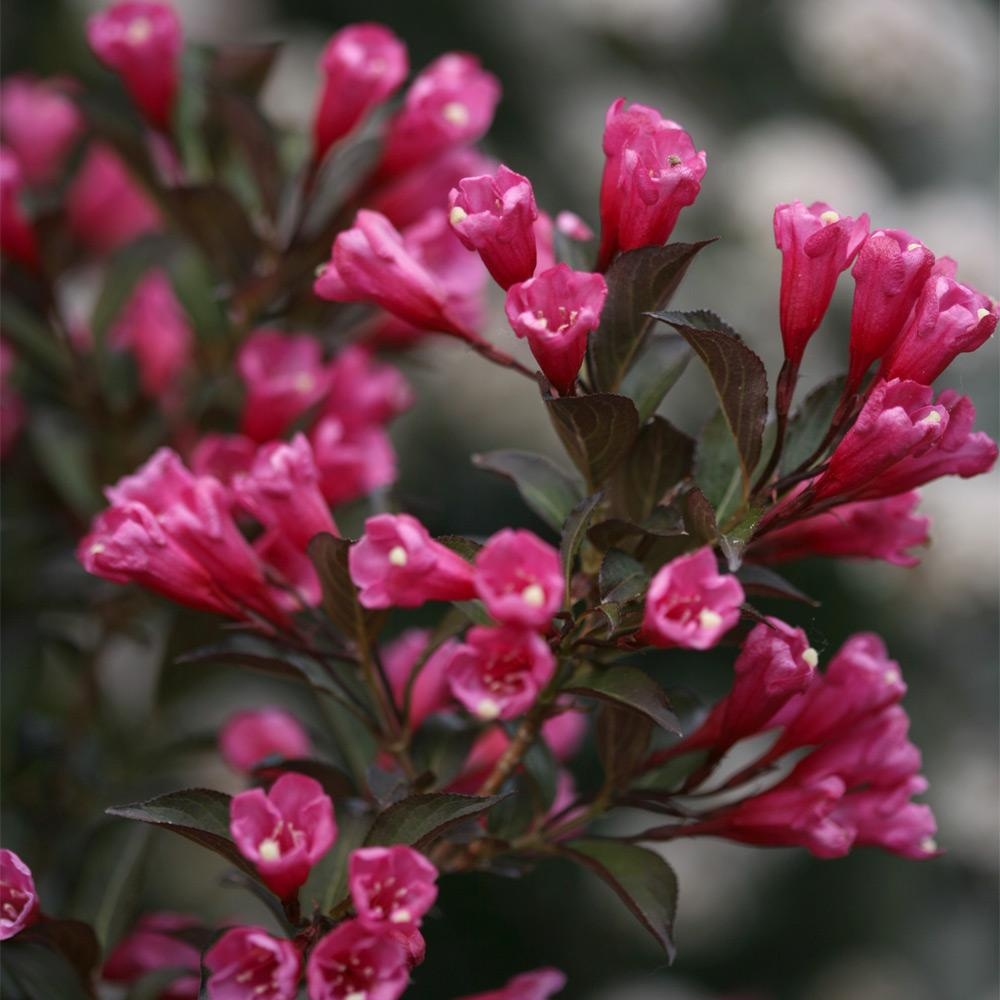 Wine & Roses® Weigela Shrub