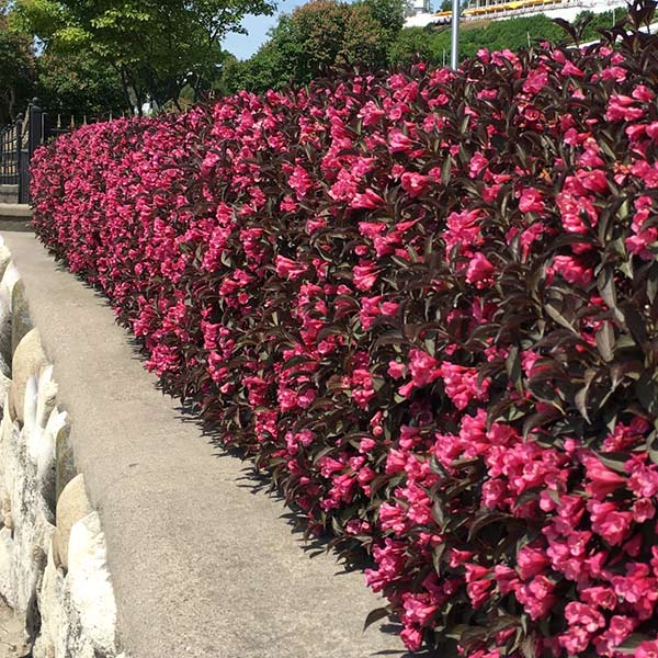 Wine And Roses Weigela Shrubs For Sale Fastgrowingtrees Com