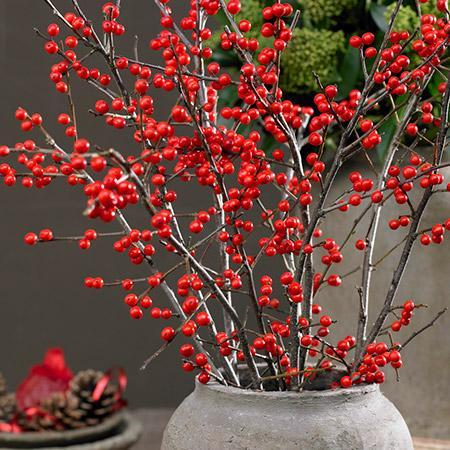 Winter Red Winterberry Holly Shrub