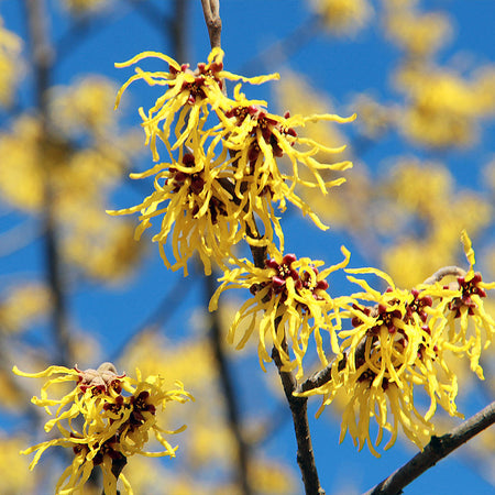 Common Witch Hazel Shrub