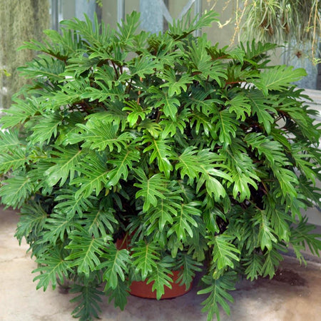 Xanadu Philodendron 'Winterbourn' Plant
