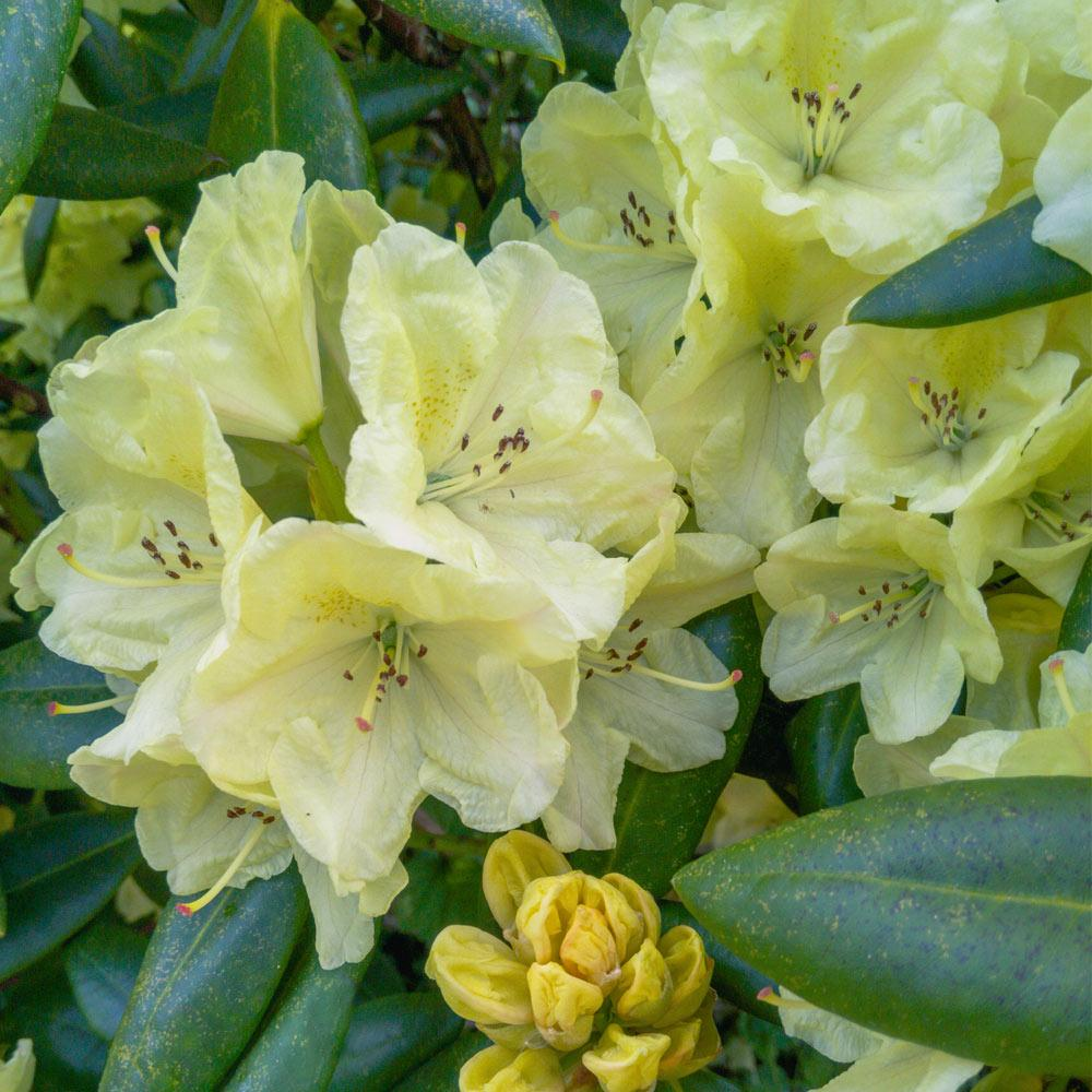 Yellow Rhododendron Shrubs For Sale Fastgrowingtrees Com