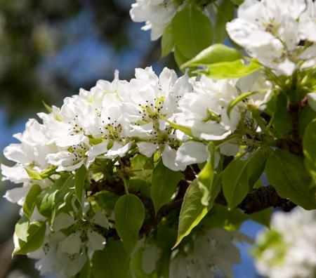 Yoinashi Asian Pear Tree