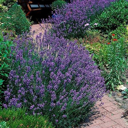 Phenomenal Lavenders For Sale Fastgrowingtrees Com