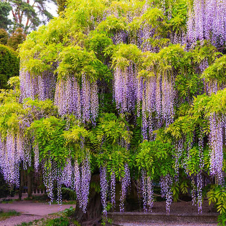 Wisteria - Tree Form