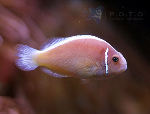 Pink Skunk Clownfish (Amphiprion perideraion)