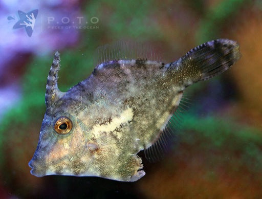 Bristletail Filefish (Acreichthys tomentosus)
