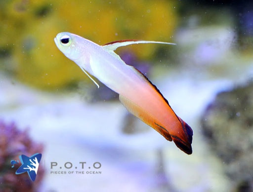 Red Firefish Goby (Nemateleotris magnifica)