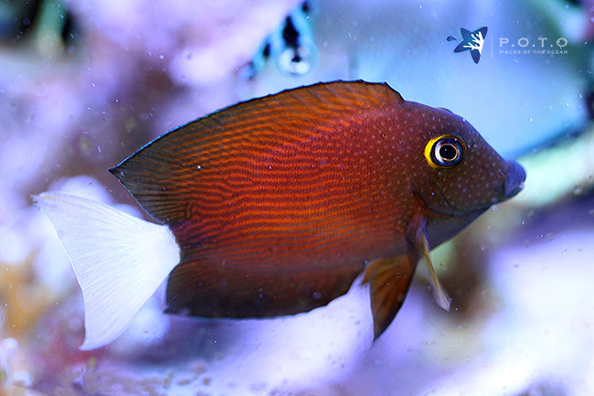 White Tail Yellow Eye Tang (Ctenochaetus flavicauda)