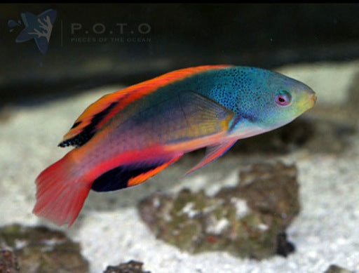 Scotts Fairy Wrasse (Cirrhilabrus scottorum)