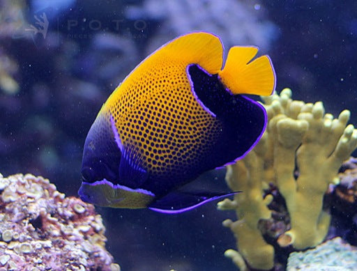 Blue Girdled Angelfish (Pomacanthus navarchus)