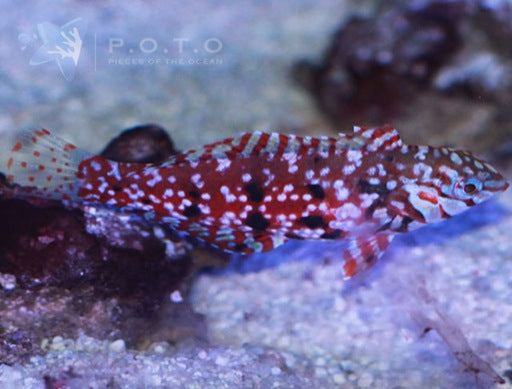 Jewelled Wrasse (Halichoeres lapillus)