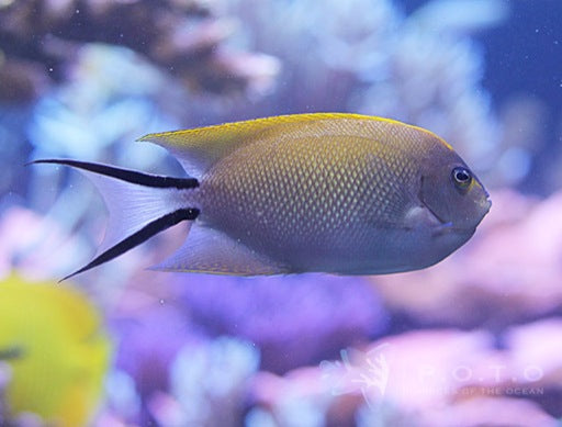 Spotbreast Swallowtail Angelfish (Genicanthus melanospilos)