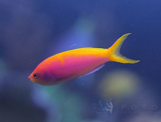 Barlett's Anthias (Pseudanthias bartlettorum)