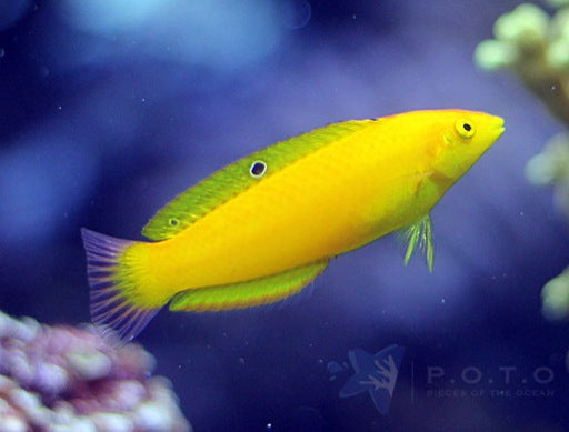 Yellow Coris Wrasse (Halichoeres chrysus)