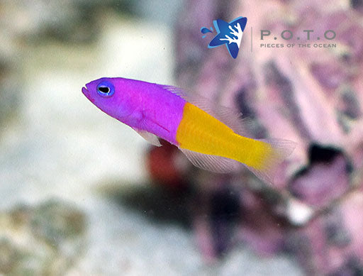 Bicolor Dottyback (Pictichromis paccagnellae)