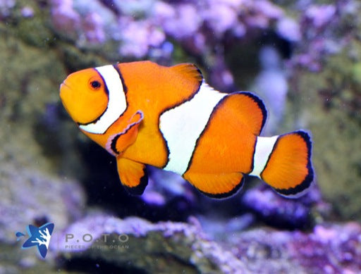 Occelaris Clownfish (Amphiprion ocellaris)